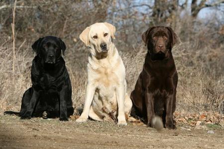 http://animalgalaxie.cowblog.fr/images/Labradorblancnoirchoco.jpg